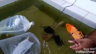 Soltando peixes no lago