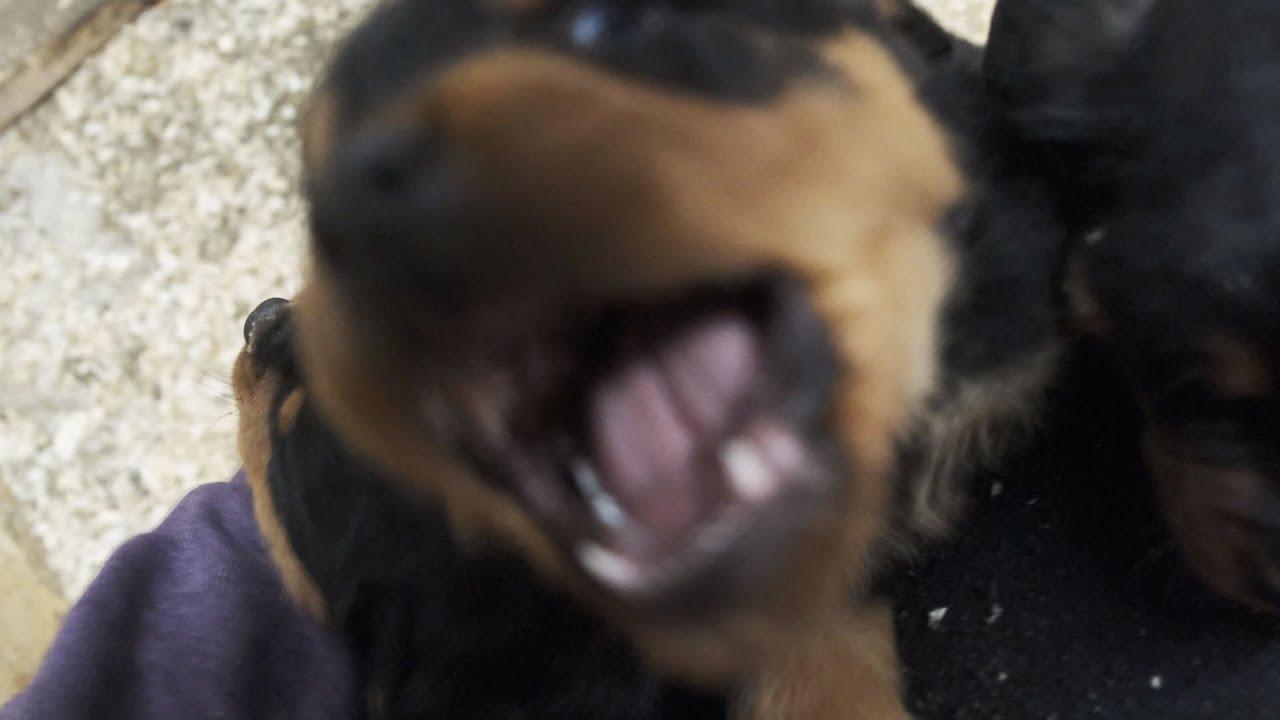 Банда щенков ротвейлера радуются свободе!