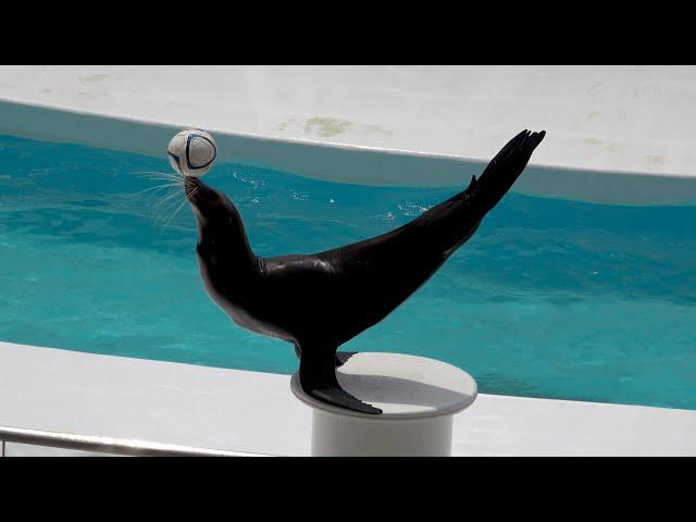 Sea Lion Performance Kamogawa Sea World  【4K】