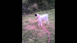 German Shorthaired Pointer Howling