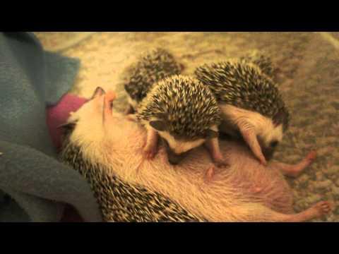 Nursing baby hedgehogs