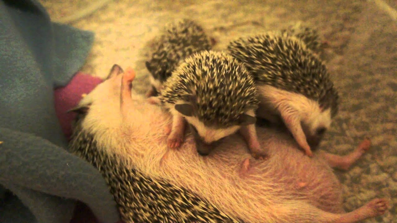 What Do Baby Hedgehogs Drink