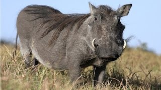 Amazing Facts About Warthogs