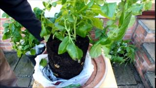 HGV How to grow more potatoes using shopping bags for an extended harvest, start to finish
