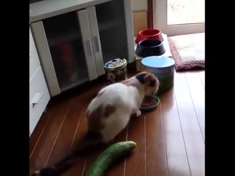 cat scared by cucumber youtube