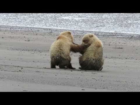 Brown bear cubs  on the beach - sibling rivalry