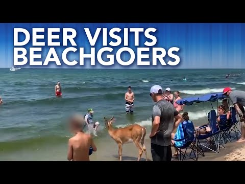 Deer Joins Beachgoers On Lake Michigan During 4th Of July Weekend