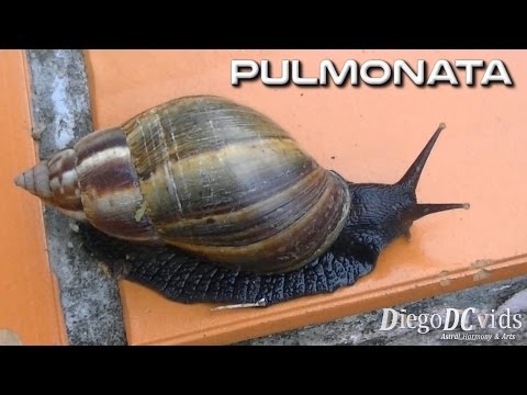 Giant African Snail - Achatina fulica - Caracol-gigante-africano (Stylommatophora)