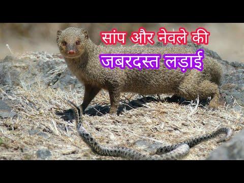 सांप और नेवले की लड़ाई। snake and mongoose fight। jara hatke| saap aur  nevla ki ladai। जरा हटके