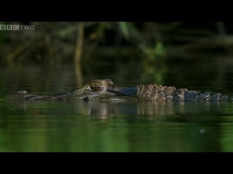 Giant Otters vs Caiman - Natural World 2012-2013: Giant Otters of the Amazon Preview - BBC Two