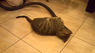 Прикольные кошки Кот весело нападает на пылесос Забавно смотреть!!