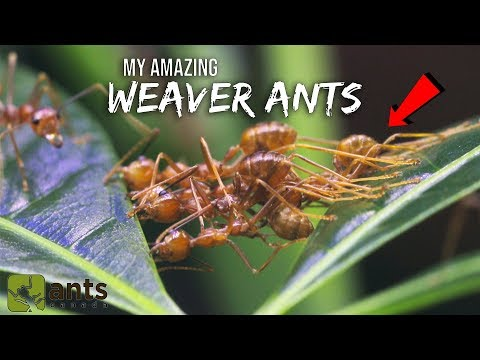 My Amazing WEAVER ANTS   The Coolest Ants You Ever Did See