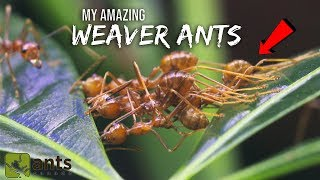 My Amazing WEAVER ANTS | The Coolest Ants You Ever Did See