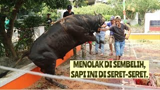 Download Video MENOLAK DI SEMBELIH, SAPI INI DI SERET-SERET. MP3 3GP MP4