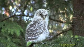 UGGLOR Owls  (Strigiformes)  Klipp - 828