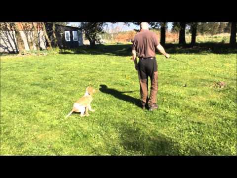 Bracco Italiano puppy pointing on fishing rod method