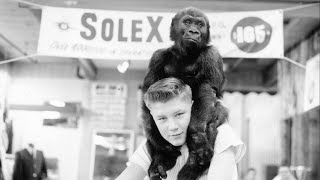 Meet Ivan: The Tacoma gorilla who changed the world - KING 5 Evening