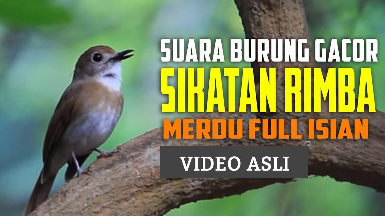 Sikatan Rimba Dada Coklat Gacor Ngeroll Tiada Henti Burung Sikatan Burung Burung Cantik