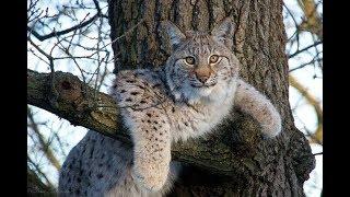 Как Рысь Ловит Зайца | Дикие Кошки #Охотятся