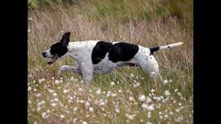 Все породы собак.Английский пойнтер (English Pointer)