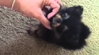 Extra Micro Teacup Pomeranian Teddy Bear Face