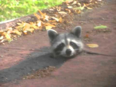 Raccoon on my roof!