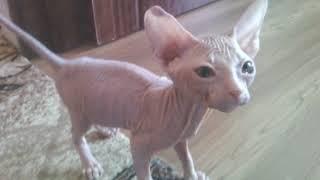 Котёнок сфинкс. Детство кота Феликса. Kitten Sphinx