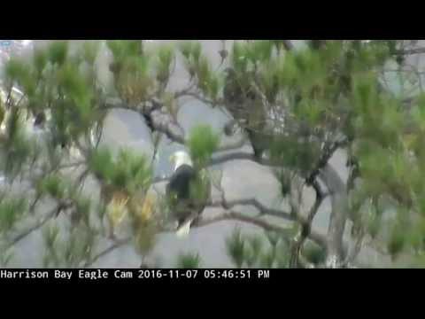 Harrison Bay Eagles TN  11 7 16 530pm juvie with female Eliza in tree near nest tree