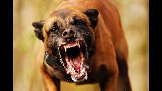 Самый сильный укус собака которая может убить медведя