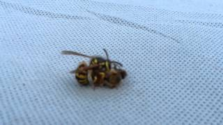 Wasp cuts bee in half