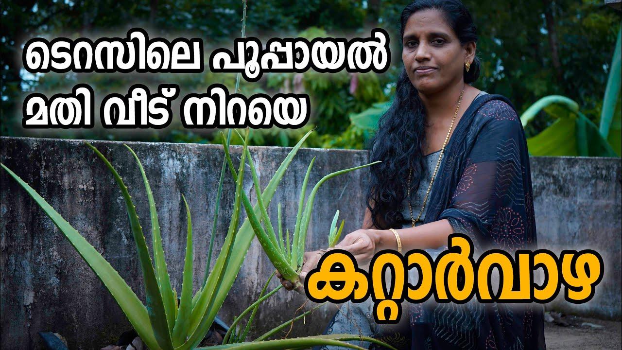 ടെറസിലെ പൂപ്പായൽ കൊണ്ടൊരു കറ്റാർവാഴ കൃഷി | How to grow Aloe Vera plant at home in Malayalam