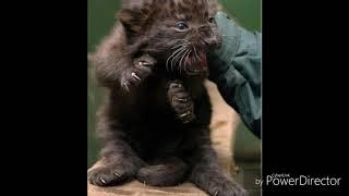 Пантера чёрная чё чё чё чё чё чёрная