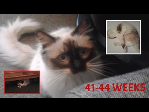 Female Ragdoll Lilah 41 to 44 weeks old (650 subscribers!)