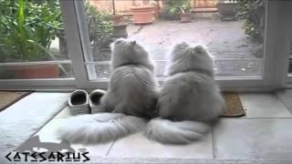 58 Cats twins  Кошки близнецы