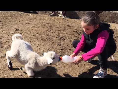 eğlenceli kuzu videosu kuzuların süt...