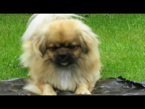 Finlay the Tibetan Spaniel and the bone