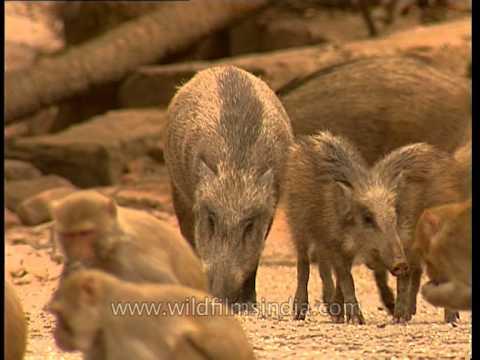 Wild Boars foraging in Sariska National Park