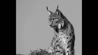 Endangered Species: Iberian Lynx