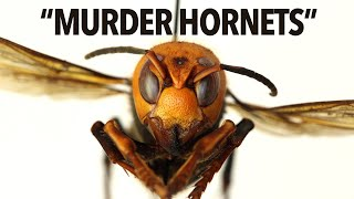 Everything You Need To Know About Murder Hornets In 6 Minutes