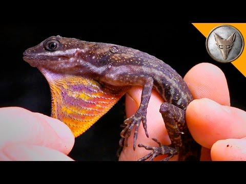 Thumbnail: Mysterious Water Anole