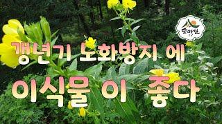 달맞이꽃  종자유 월견초  다이어트 약초   여성갱년기…