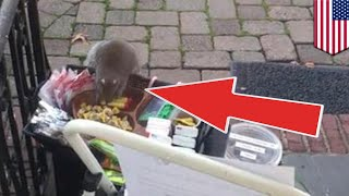 Fat squirrel stealing pricey chocolate and lip balm caught on camera - TomoNews