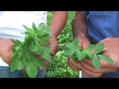 Şarkikaraağaç - Ağaç Yaprağı Gibi  Büyük Yapraklı  Yonca - Yaprak Pası Tedavisi