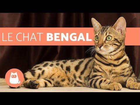 Le Chat Bengal - caractéristiques et caractère