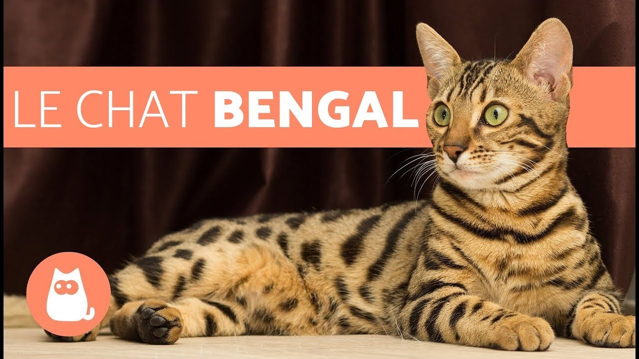 Le chat bengal caract ristiques et caract re youtube - Chat type leopard ...