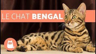 Le Chat Bengal Caracteristiques Et Caractere Youtube