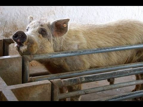 Perpetual Self Reliance Project - Guatemala: Buying a Pig and (Trying) to Get Her Pregnant