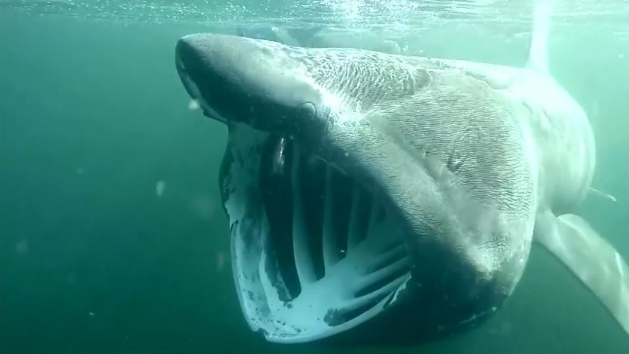 basking sharks swimming in scotland all year round youtube