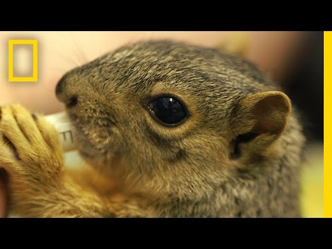 Cute Squirrels Get a Second Chance At Life in This Rehab Center | National Geographic