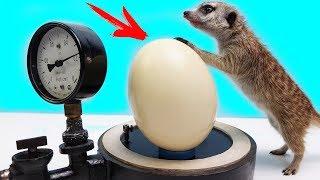 Что если Сунуть Яйцо Страуса в Вакуум..?!  Тимка первый раз увидел ЭТО..!!!
